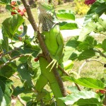 This iguana is often spotted on the berry bushes or other trees in the yard.