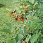 One of the berry bushes in the yard. Organic too!