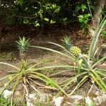 Pineapples are coming up now.